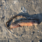 Mysterious Sea creature Washes Up in Texas City After Hurricane Harvey