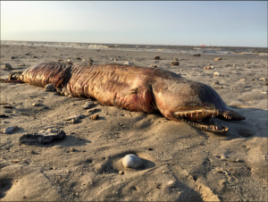 Mysterious Sea creature Washes Up in Texas City After Hurricane Harvey 2