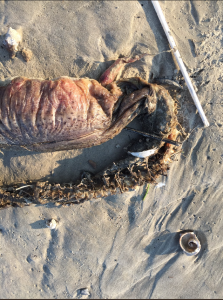 Mysterious Sea creature Washes Up in Texas City After Hurricane Harvey 3
